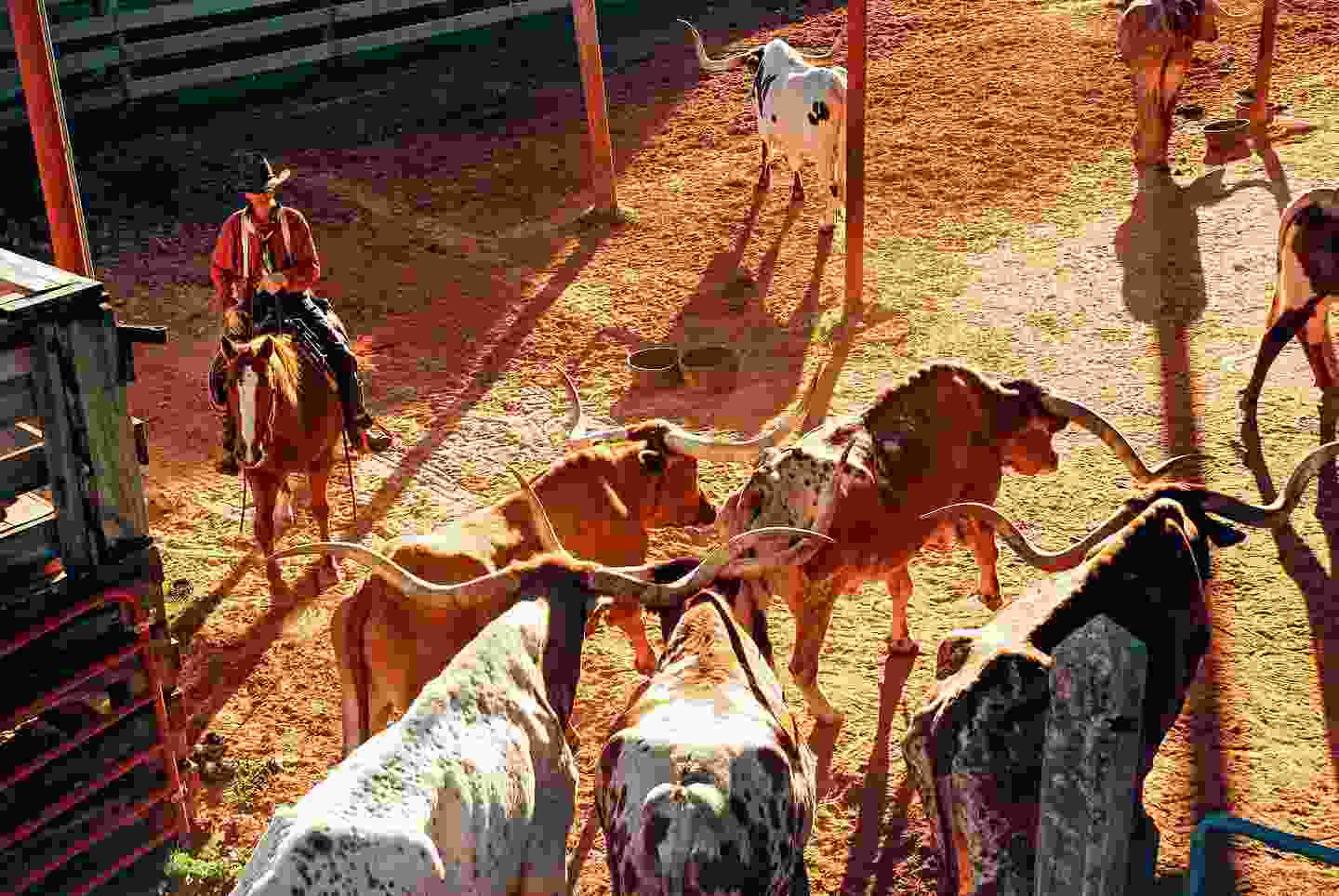 A cowboy steers longhorn bulls into their pens at the Stockyards (Shutterstock)