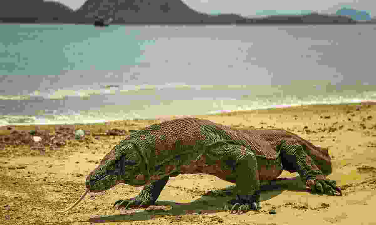 A Komodo dragon on the beach (Dreamstime)