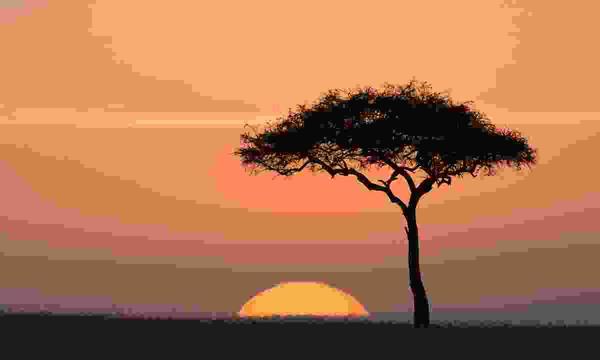 Acacia tree at sunset (Dreamstime)