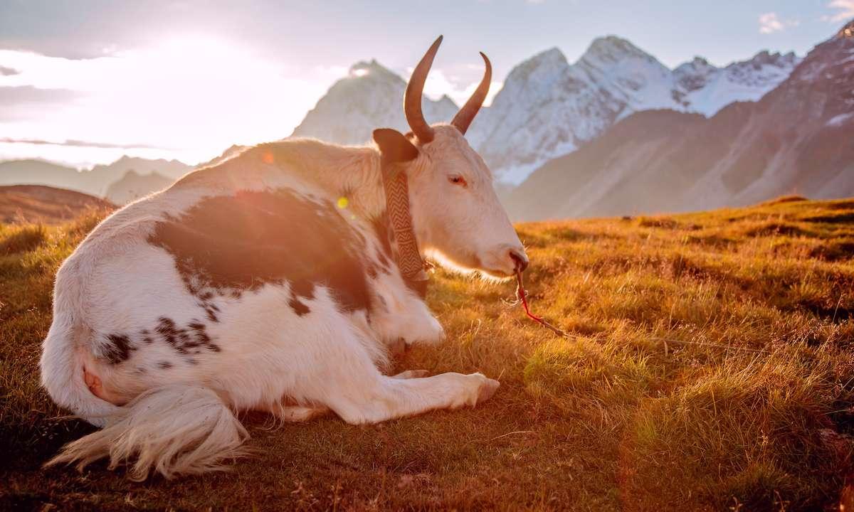A yak at MakaluBase Camp (Dreamstime)