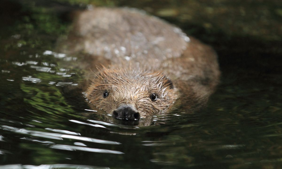 A European beaver swimming (Dreamstime)