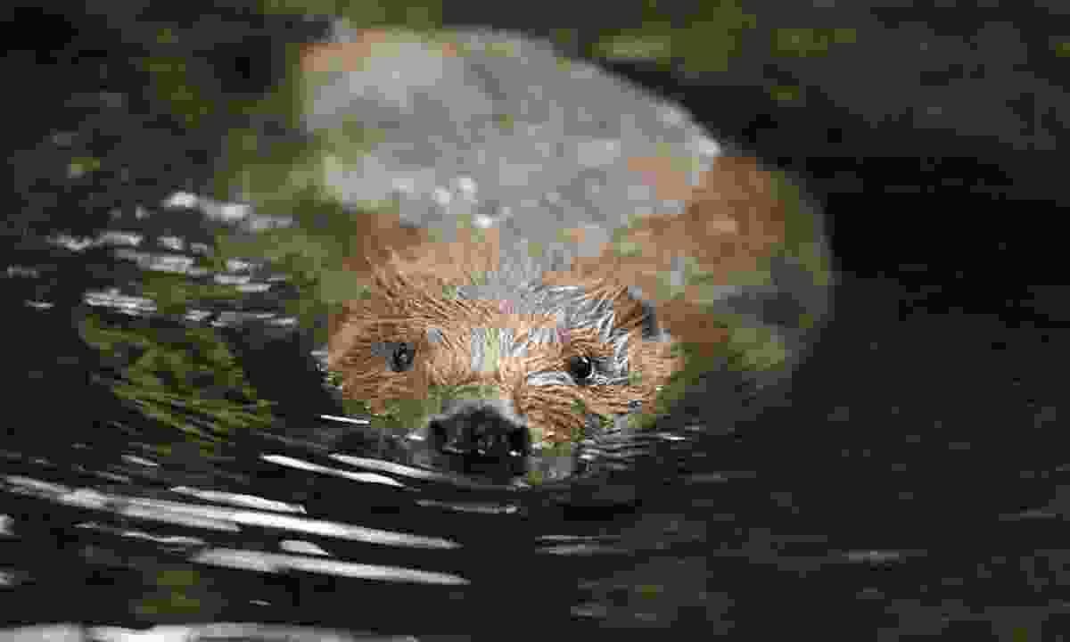 A European beaver swimming (Dreamstime)
