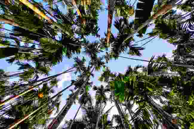 A stand of Areca palms in India (Shutterstock)