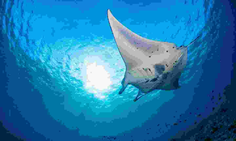 A manta ray in Hanifaru Bay (Shutterstock)
