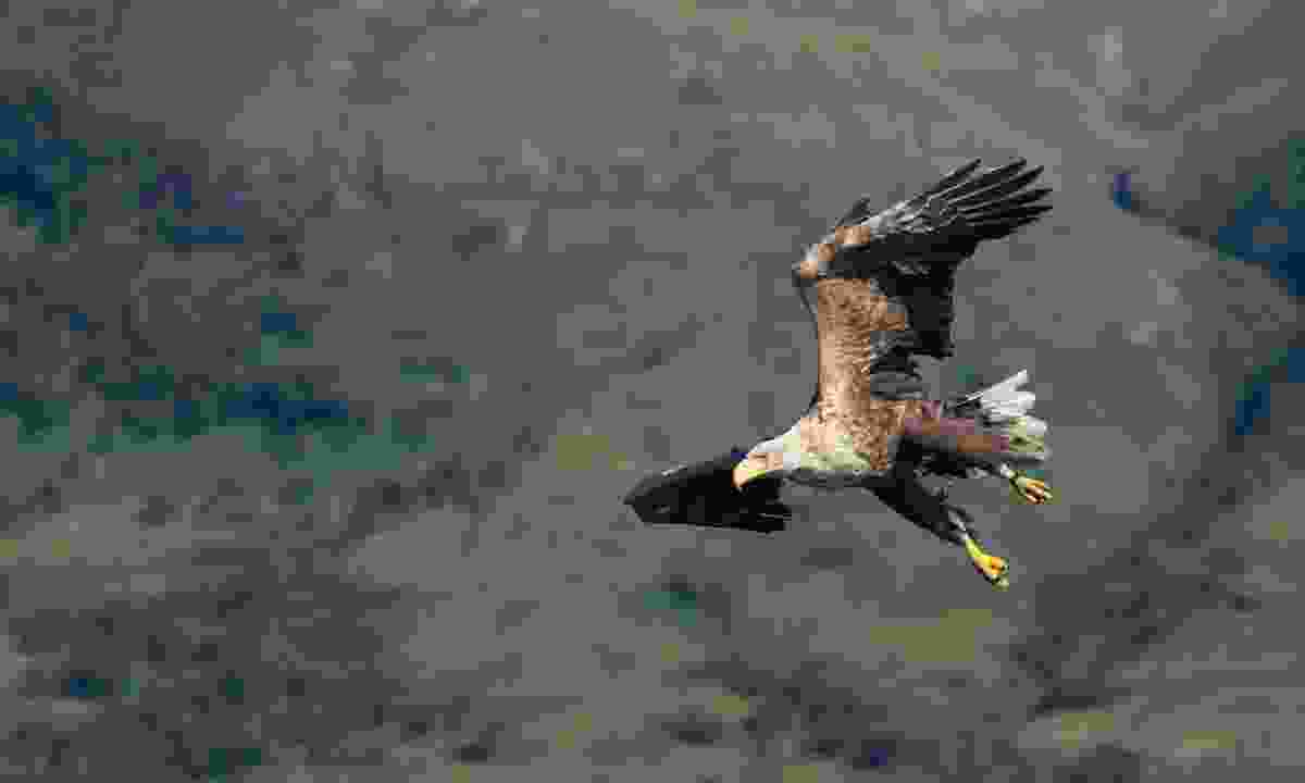 White-tailed eagle in flight (Dreamstime)