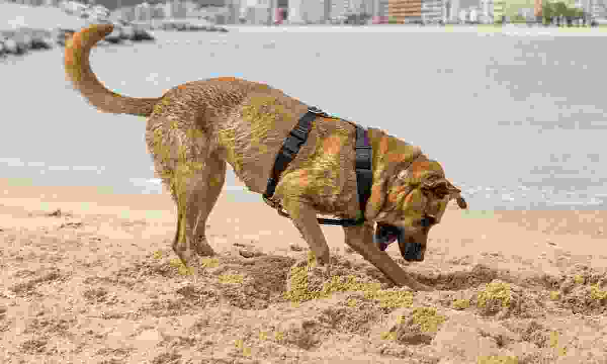 A dog playing near the water, Barcelona (Dreamstime)