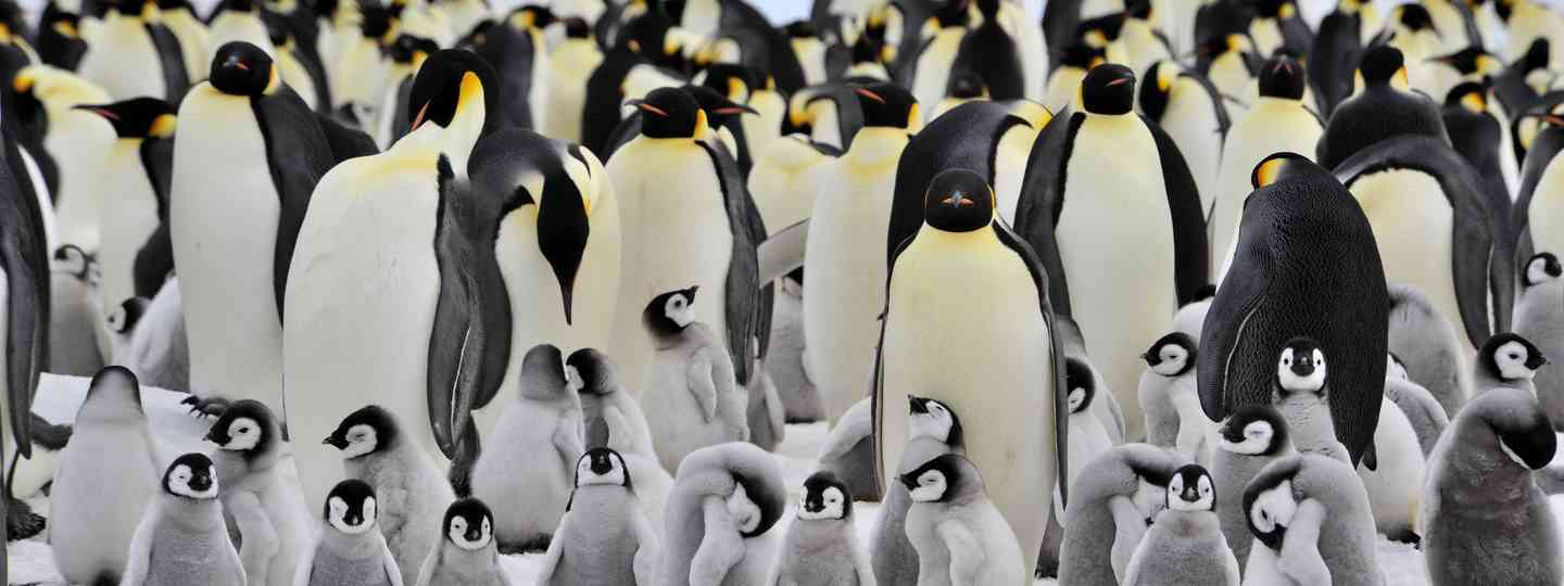 Young emperor penguins chill out under the watchful eyes of their parents (Dreamstime)