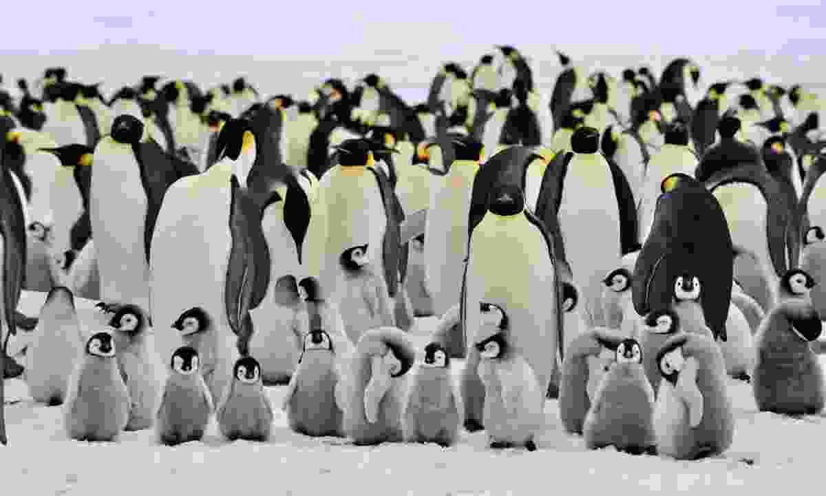 Emperor penguins huddle in Antarctica (Dreamstime)