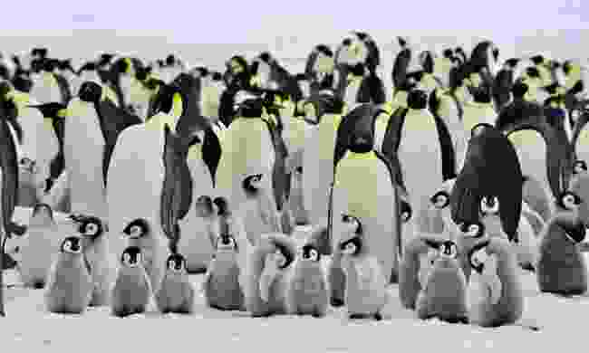 Emperor penguins huddle in Antarctica (Dreamstime)