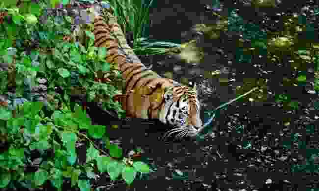A Bengal tiger takes to the water (Dreamstime)