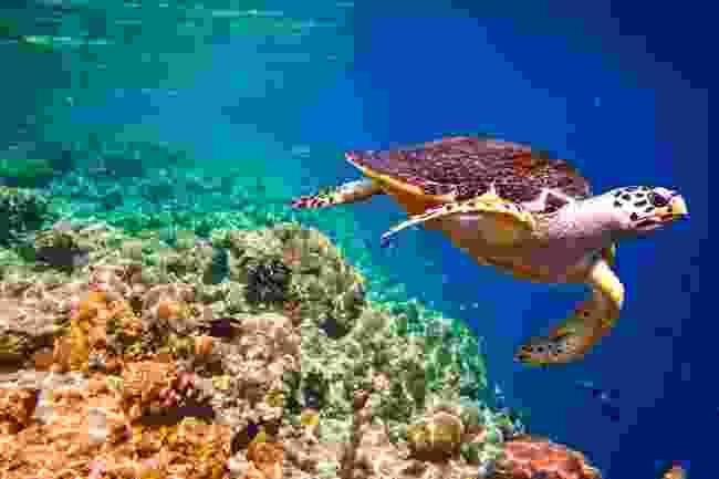 A hawksbill turtle (Shutterstock)