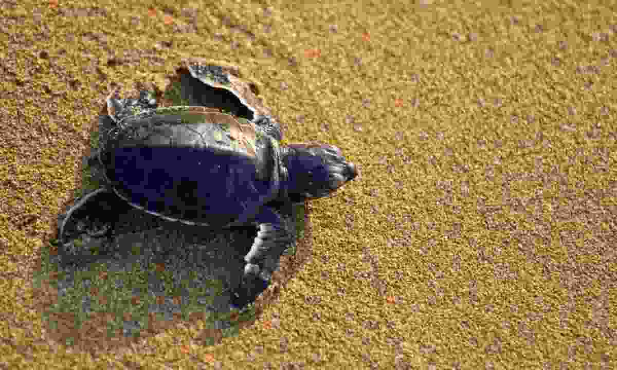 Sea turtles are frequently spotted on beaches in RAK (iStock)