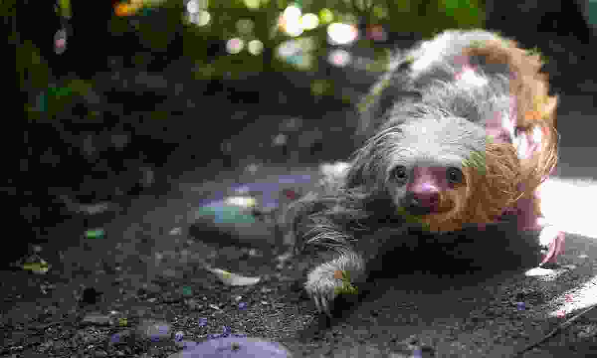Costa Rica is teeming with sloths