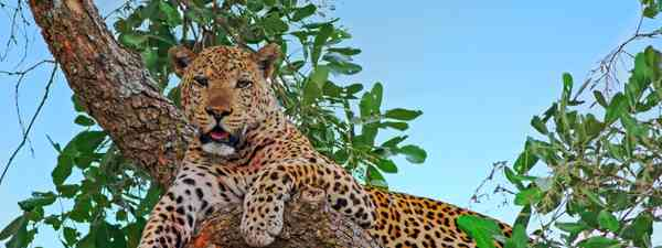 A leopard hanging out in the trees in South Luanga National Park (Dreamstime)