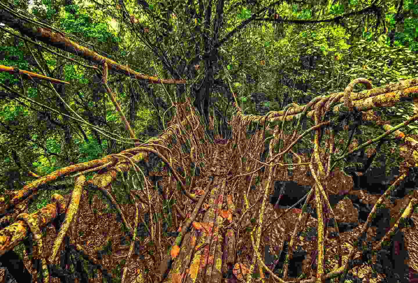 Living root bridge in Meghalaya, India (Shutterstock)