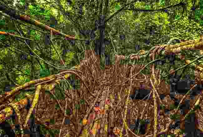 Living root bridge in Meghalaya, India (Shutterstock)