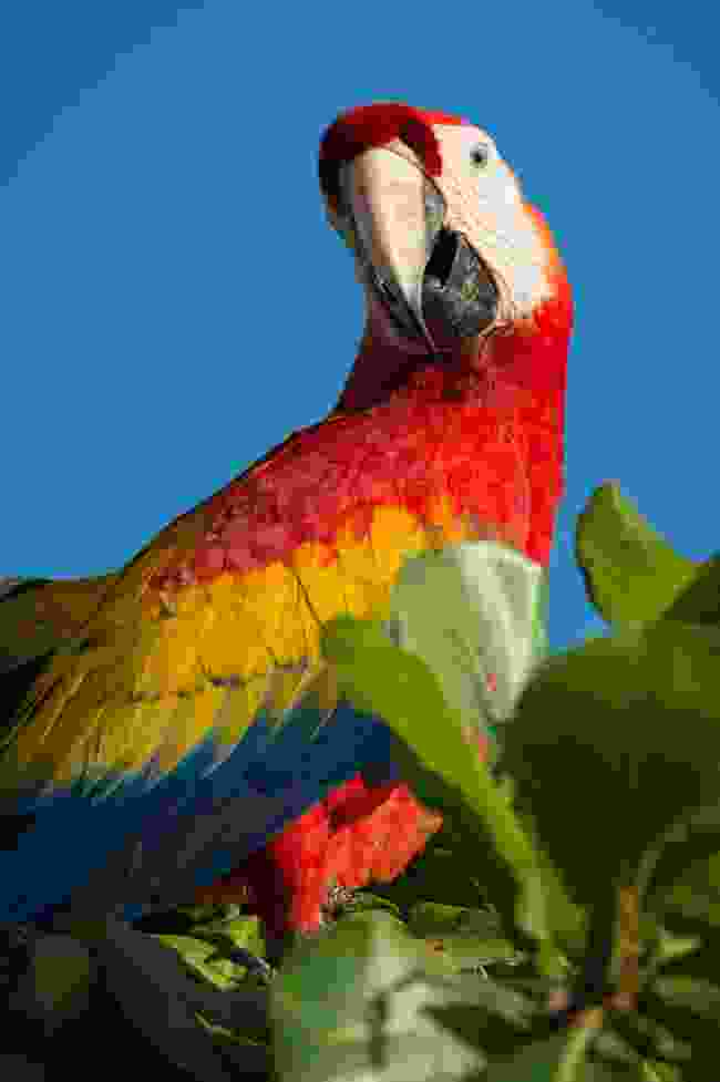A scarlet macaw, spotted in Tambor, Costa Rica (Nick Hawkins)
