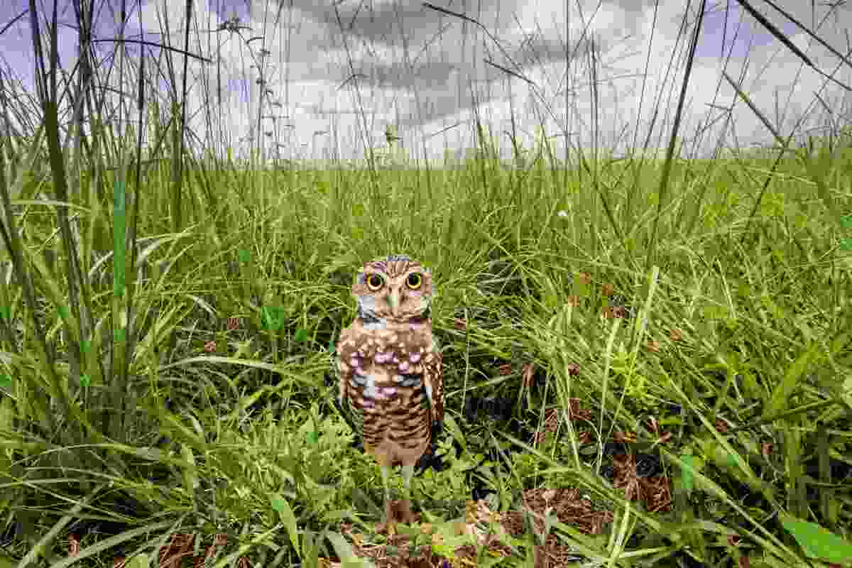 Not a blink – Burrowing owl in Florida, USA (Mac Stone)