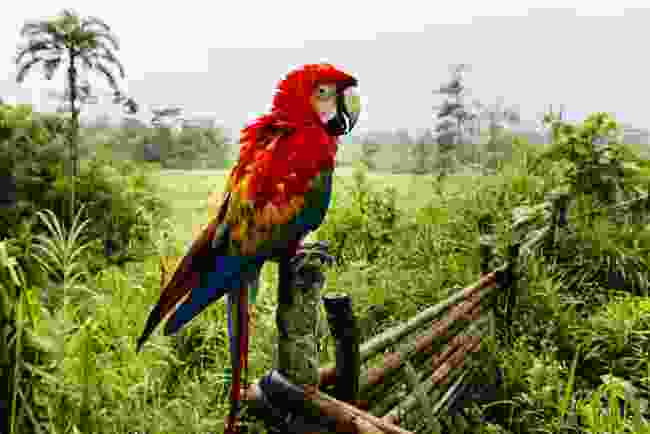 A scarlet macaw spotted near Manú Reserve, Peru (Shutterstock)