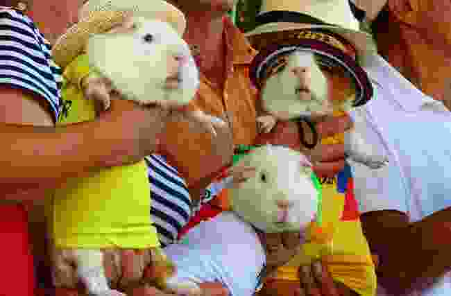 Guinea pigs dressed up during the festival (Shutterstock)