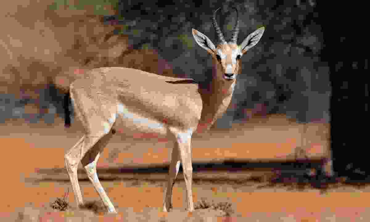 An Arabian gazelle (Shutterstock)