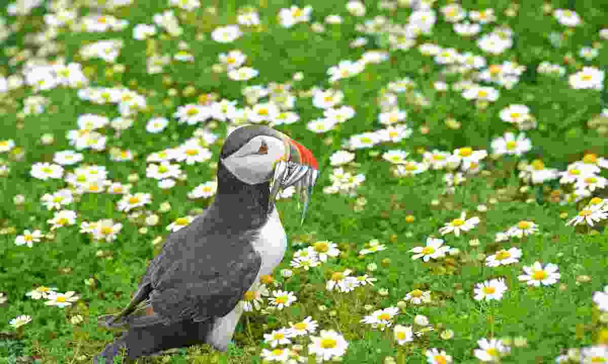 A puffin on Skomer Island (Shutterstock)