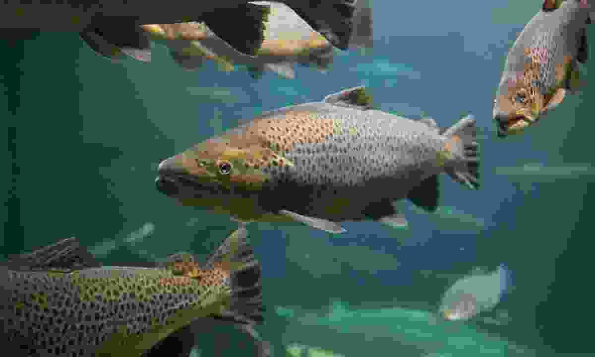 Swim with salmon in New Brunswick in September (Shutterstock)