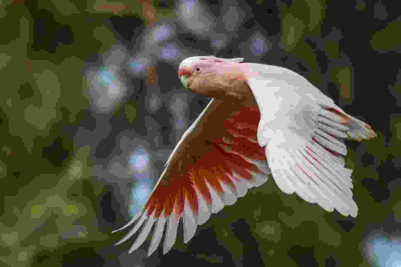 Wild Major Mitchell's Cockatoo in Gawler Ranges National Park (Shutterstock)