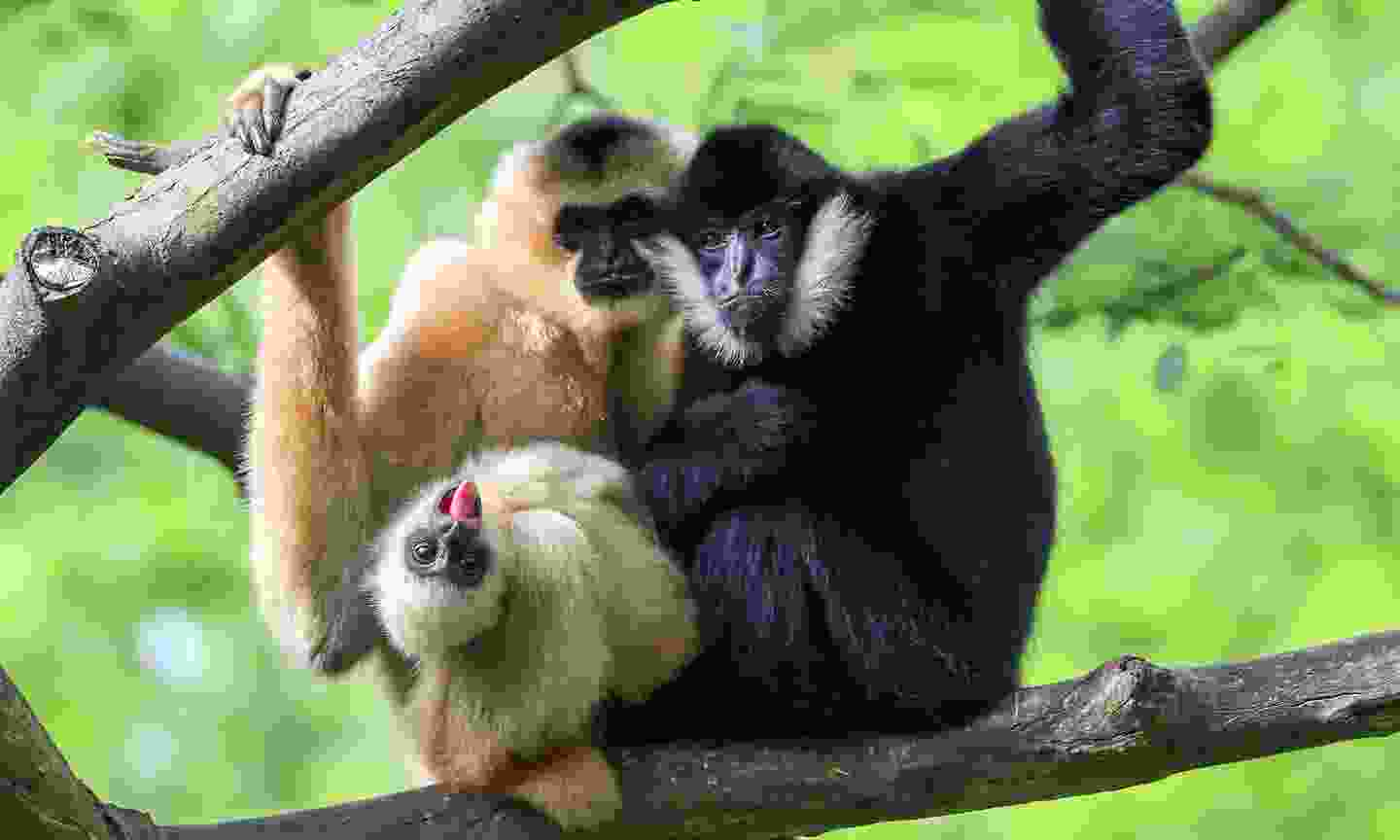Gibbons in Fort Worth's huge zoo (Shutterstock)
