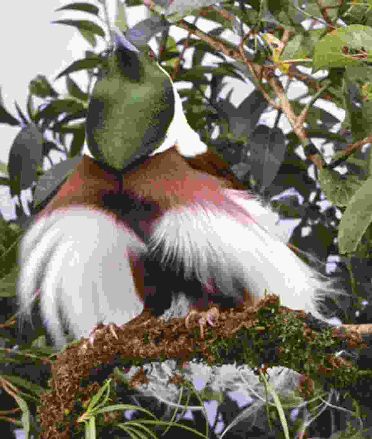 Emperor bird of paradise (Brian Coates)