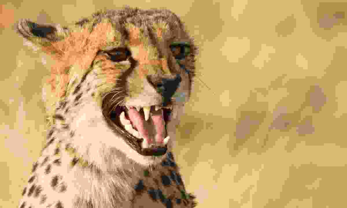 Cheetah in Namibia (Dreamstime)