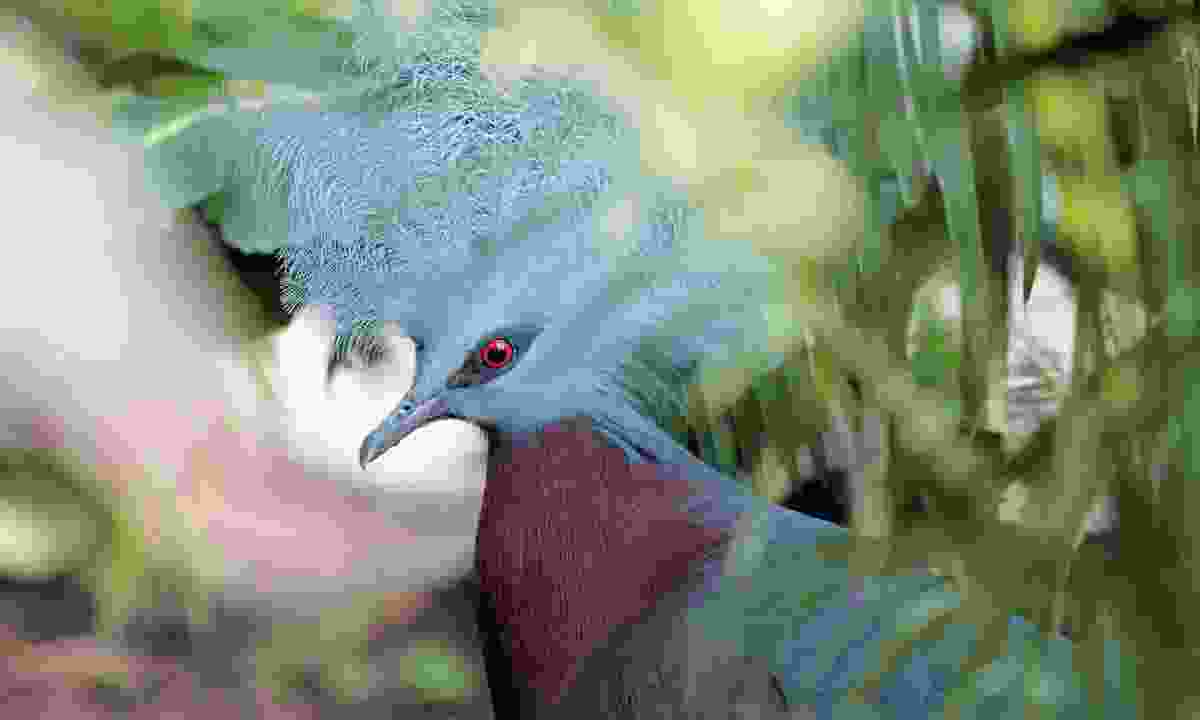 Southern crowned pigeon (Brian Coates)