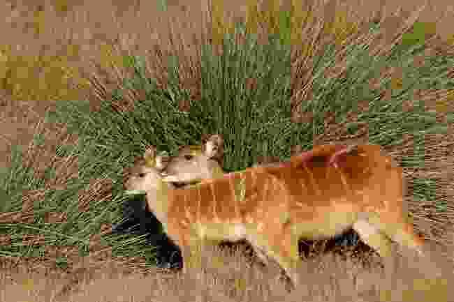 Sitatunga antelopes (Shutterstock)
