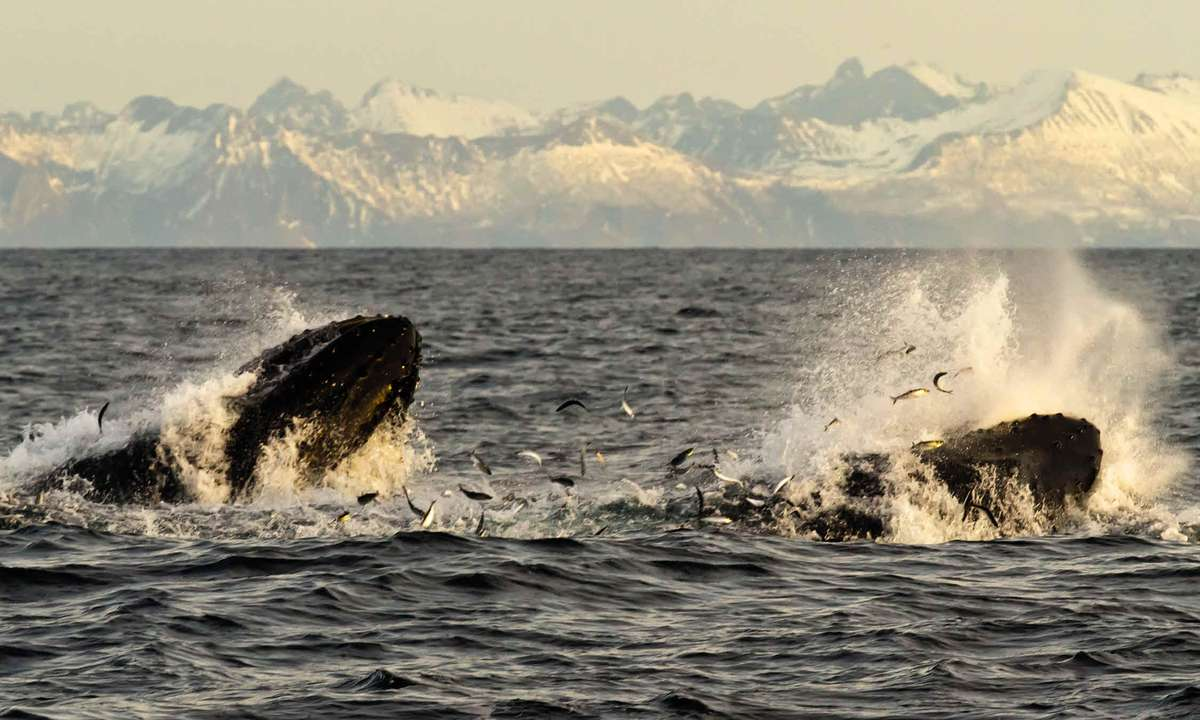 Whale watching in Norway (Discover the World)