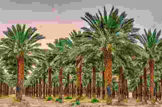 Date palms (Shutterstock)