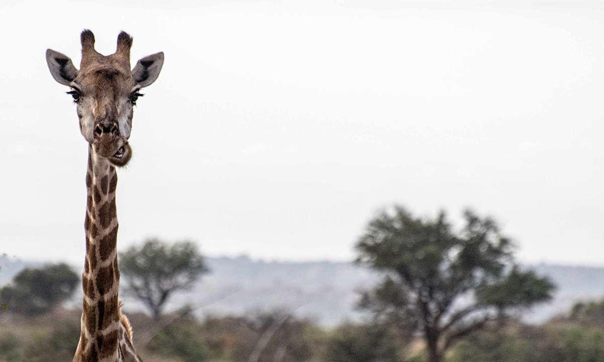A rare shot, at the height of a giraffe  (Fred Barrington)
