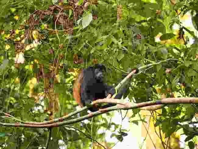 A mantled howler sits at Hacienda Pozo Azul (Alexander Metcalfe)