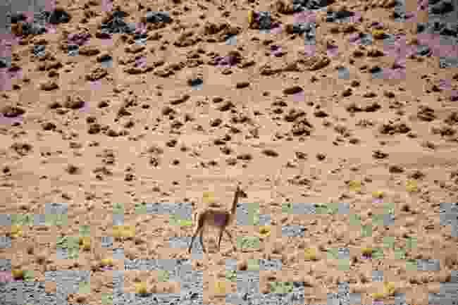 A wandering vicuña (Lyn Hughes)