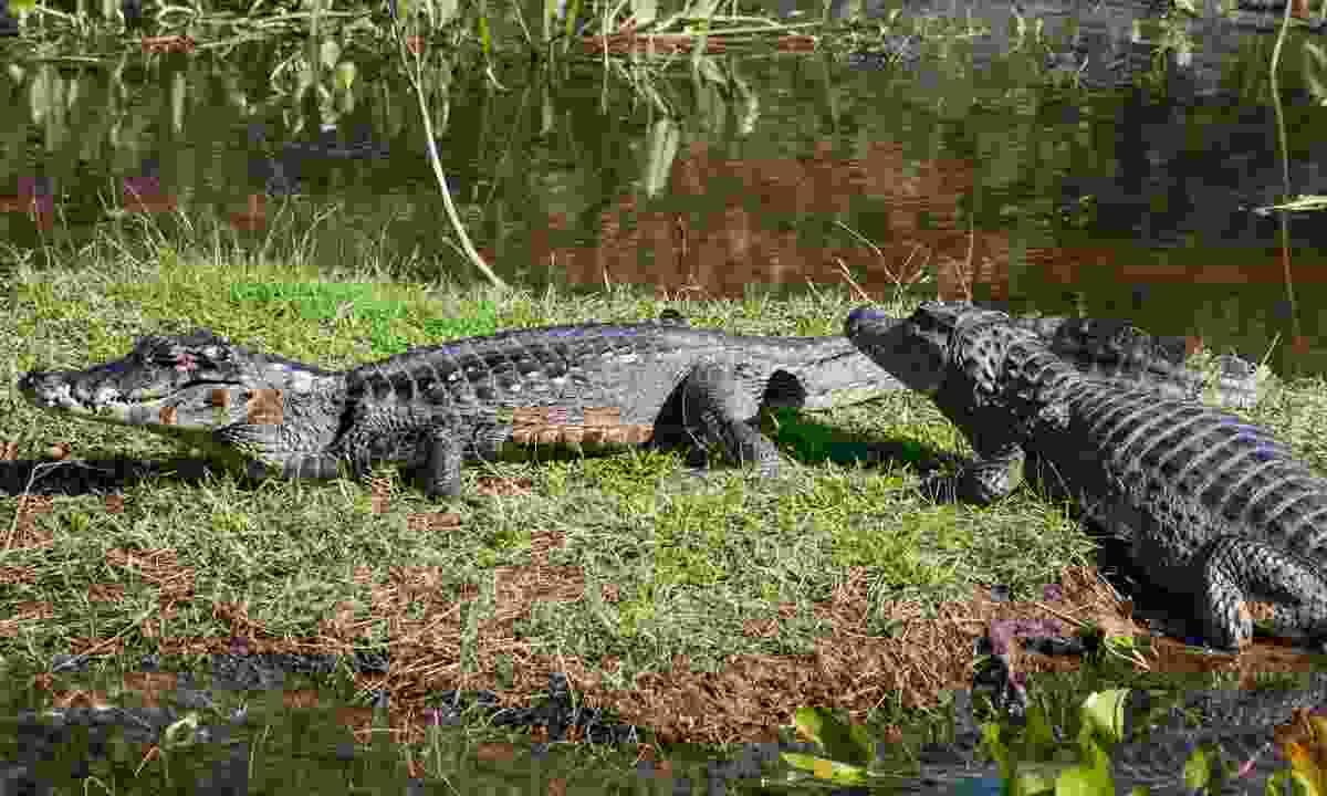 Caiman congregate on the banks of the Pantanal (Simon Chubb)