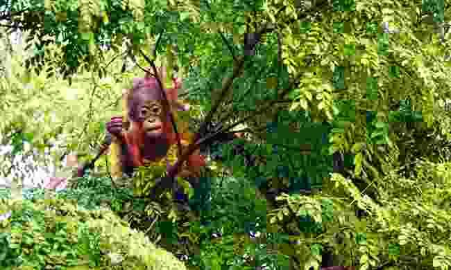 Encounter orangutans in Borneo, Malaysia (Shutterstock)