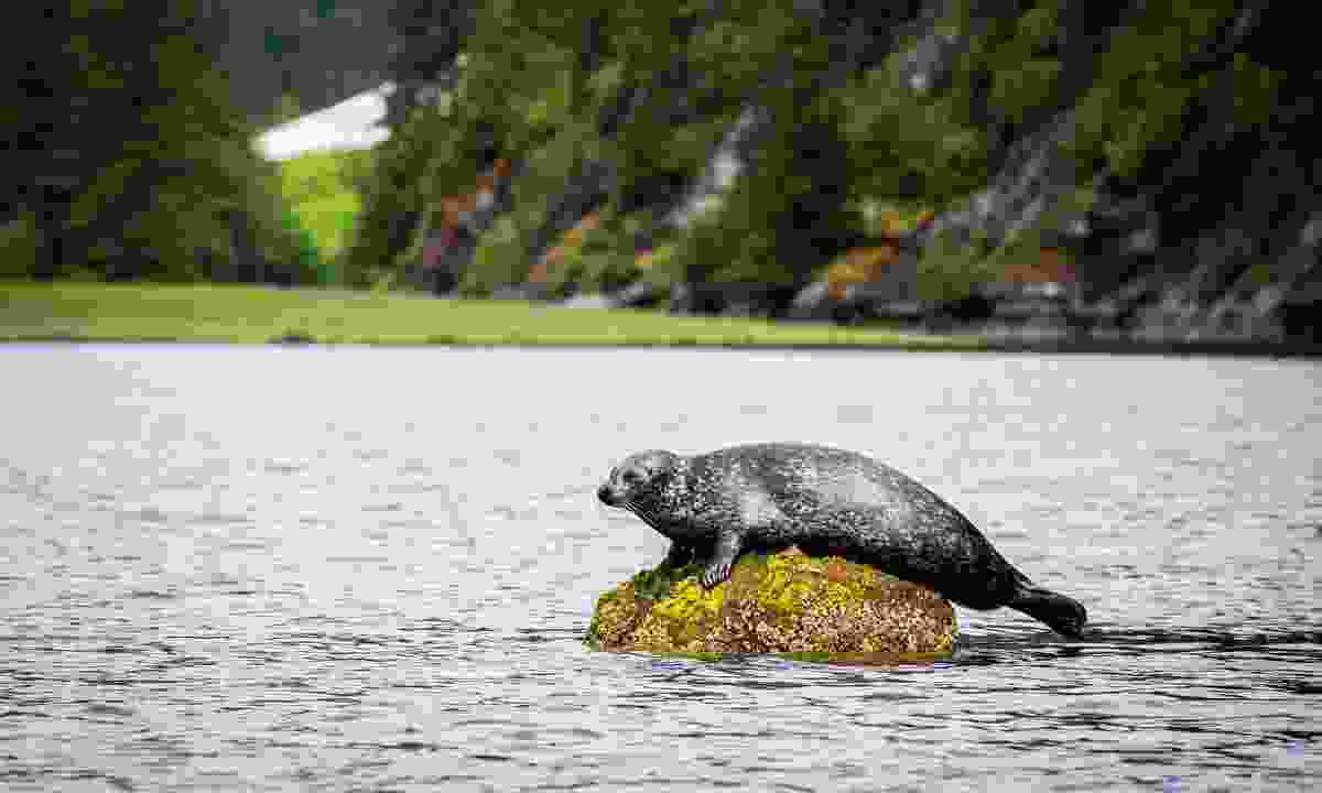 A seal takes a rest on a rock (Spirit Bear Lodge)