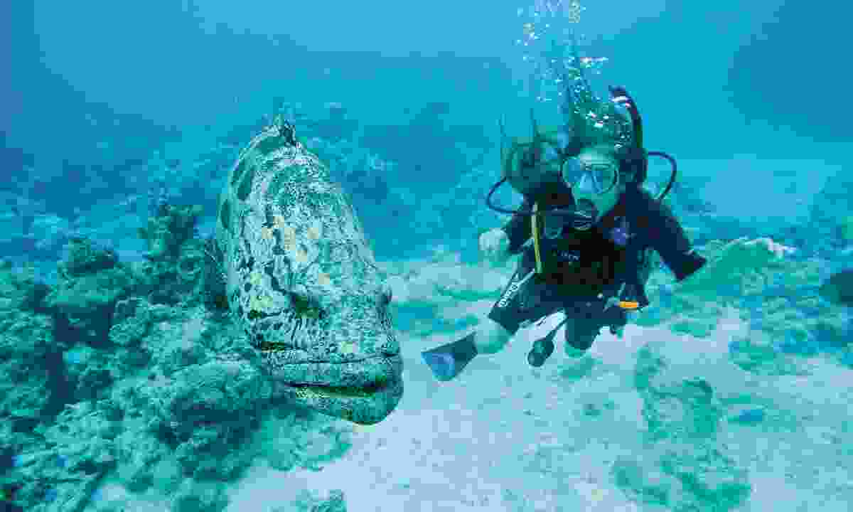 Diving alongside a huge potato cod at Cod Hole (William Gray)