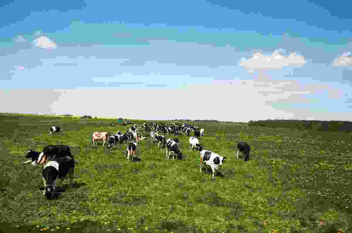 Cows stroll on a farm near Minsk, Belarus (Shutterstock)