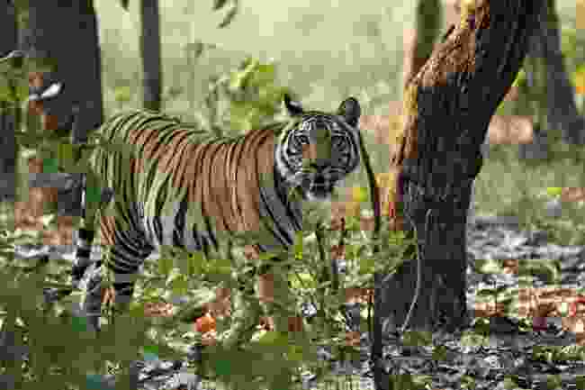 Bengal tiger roaming Bandhavgarh National Park, India (Shutterstock)