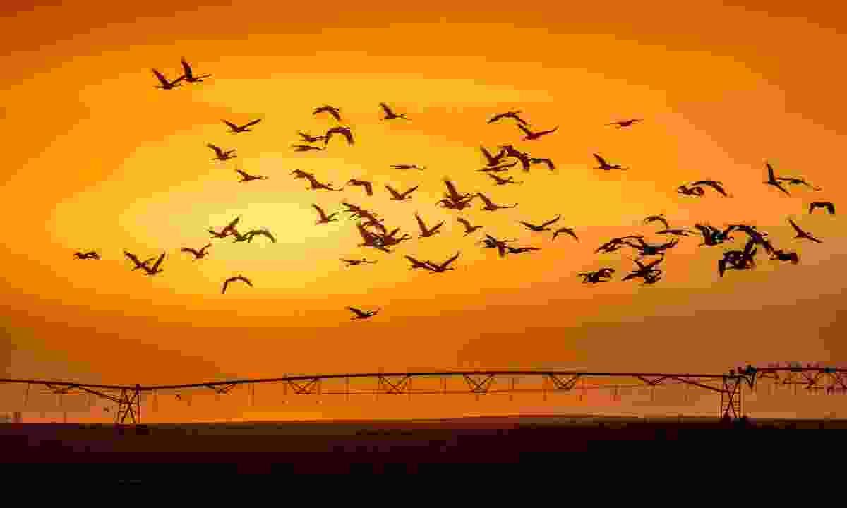 Sandhill cranes in Nebraska (Deamstime)