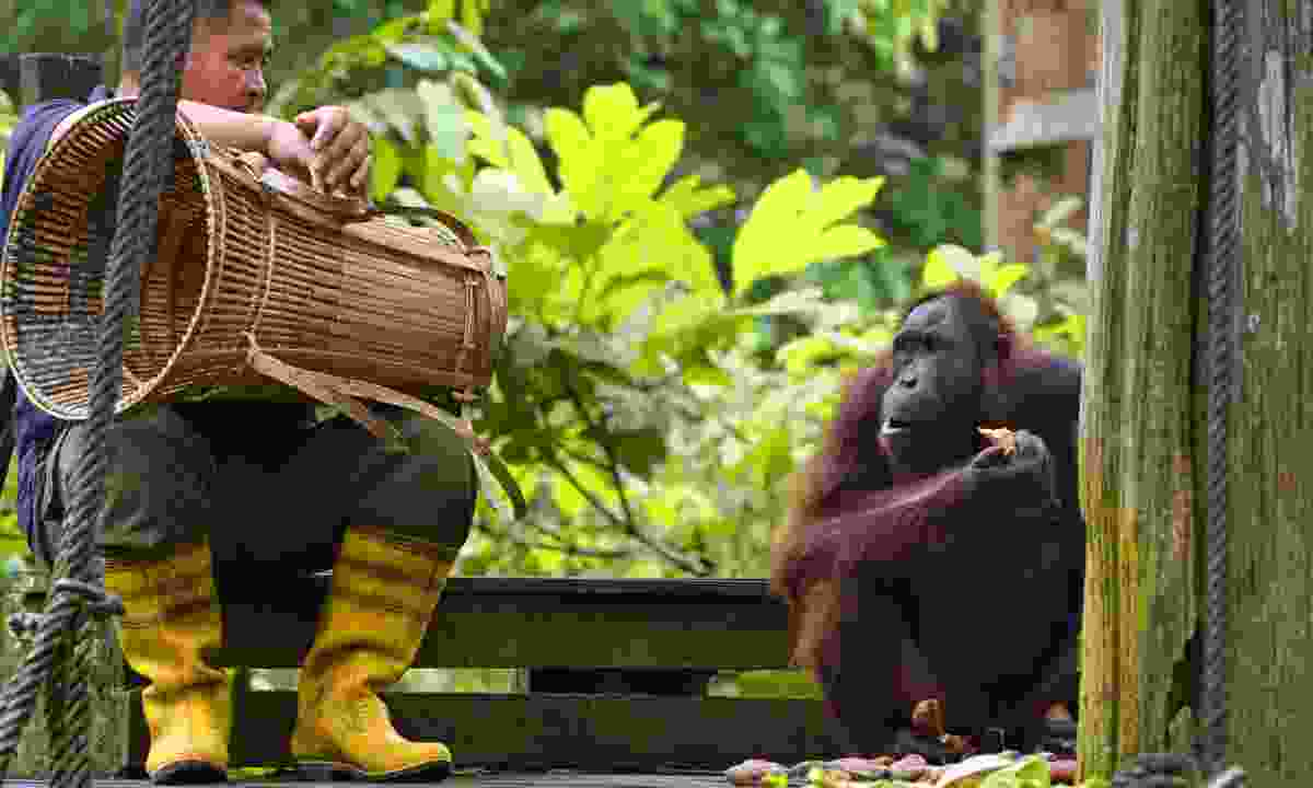 Feeding orang-utans in Borneo (Dreamstime)