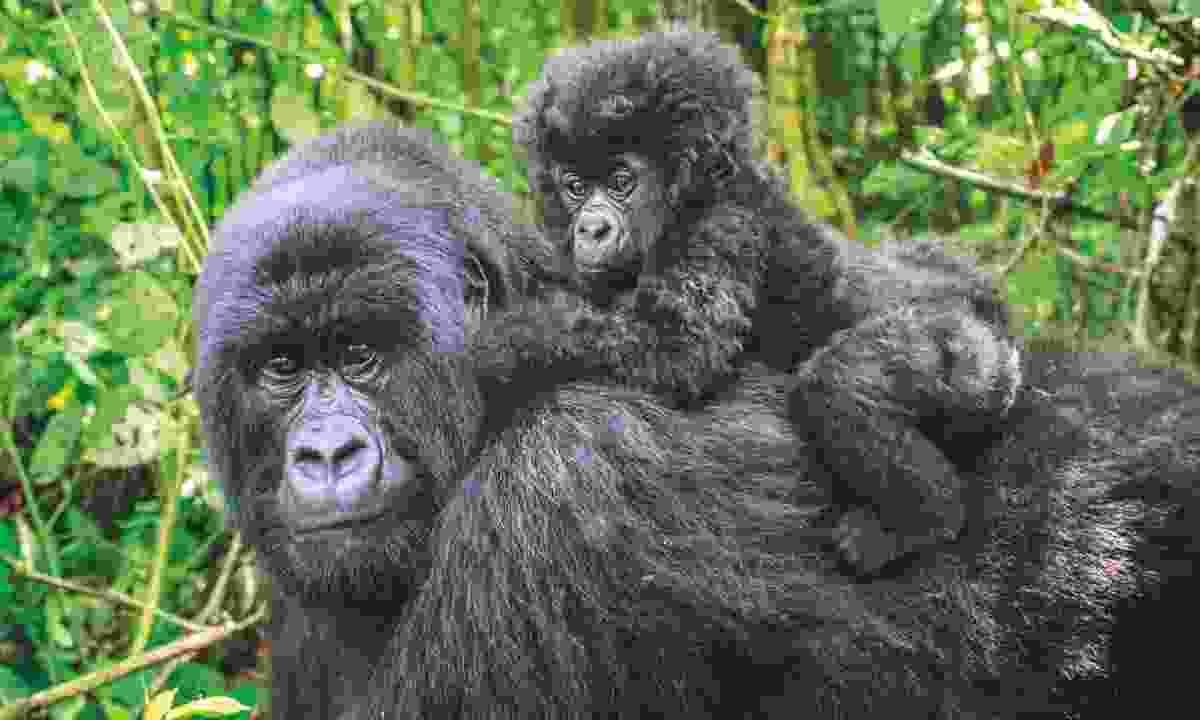 A Mountain gorilla and her baby (Dreamstime)