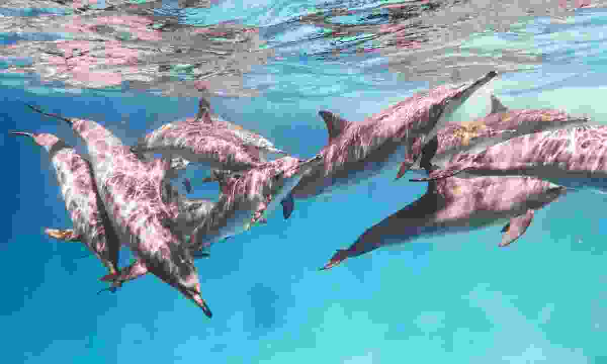 A school of spinner dolphins (Dreamstime)