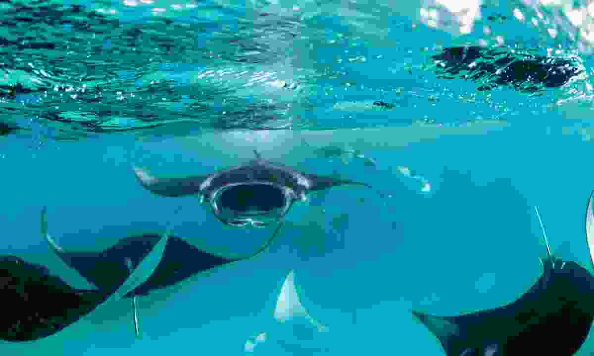 Manta ray feeding in Hurai Faru (Manta Trust)