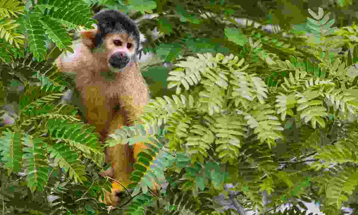 Wild yellow squirrel monkey in the Bolivian Amazon (Shutterstock)